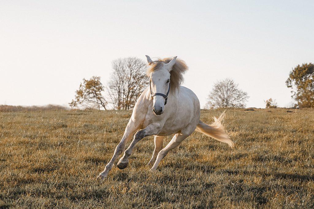 Pferd galoppiert über die Wiese
